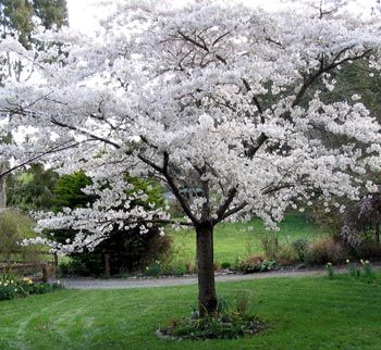 A White Cherry Blossom Tree Jeez These Trees Are Need To Have Huge Garden Then Hehe