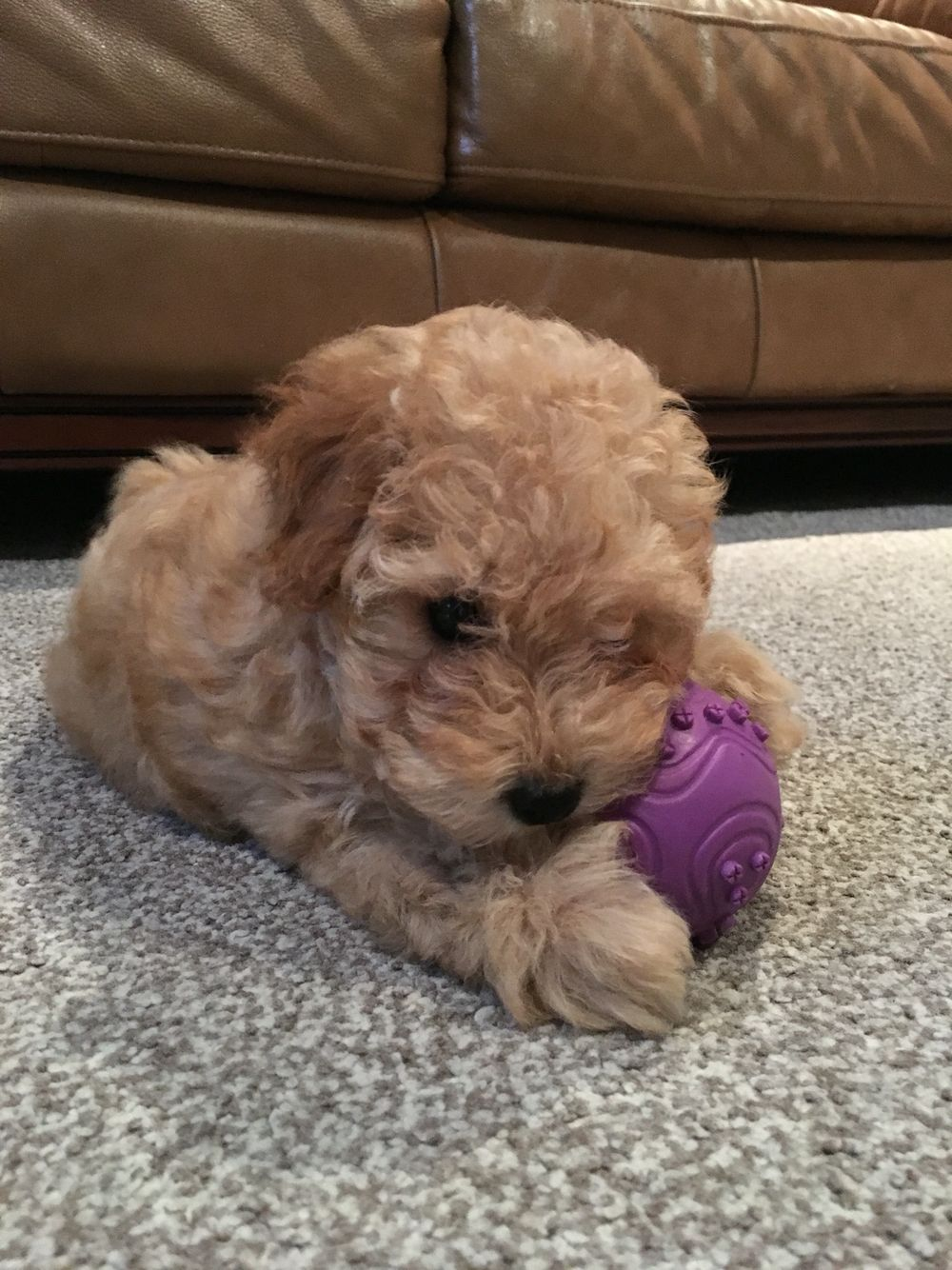 Jackapoo Puppy Poodle Mix With