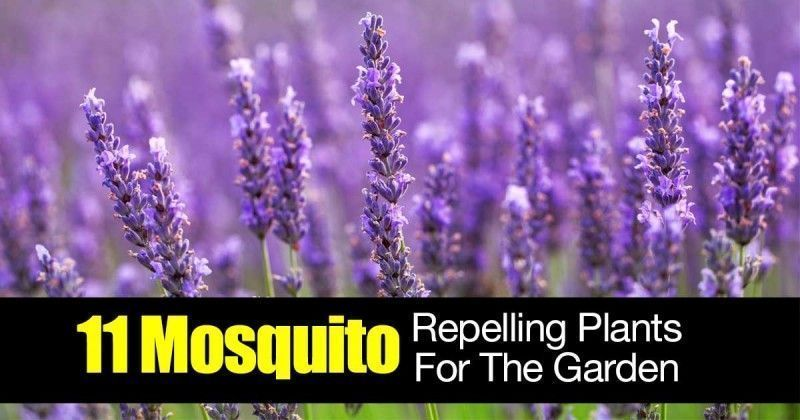 13 Plants That Repel Mosquitoes #mosquitoplants 11-mosquito-plants-01312016 #mosquitoplants 13 Plants That Repel Mosquitoes #mosquitoplants 11-mosquito-plants-01312016 #mosquitoplants 13 Plants That Repel Mosquitoes #mosquitoplants 11-mosquito-plants-01312016 #mosquitoplants 13 Plants That Repel Mosquitoes #mosquitoplants 11-mosquito-plants-01312016 #plantsthatrepelmosquitoes 13 Plants That Repel Mosquitoes #mosquitoplants 11-mosquito-plants-01312016 #mosquitoplants 13 Plants That Repel Mosquito #plantsthatrepelmosquitoes