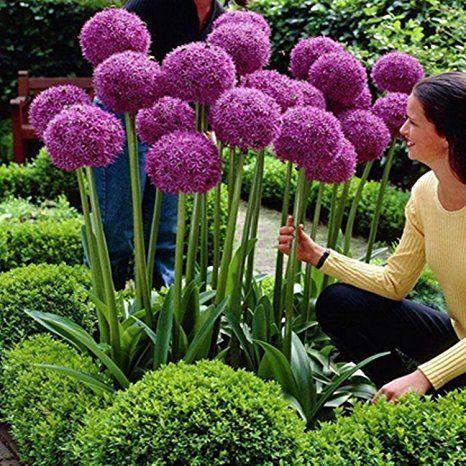 Photo of Magic of Nature Riesen Zierlauch – 30 Samen je Pack – Optimales Wachstum bis zu 150cm – Winterharte Zierpflanze für Deinen Garten – Violette Blütenfarbe – Allium giganteum – mehrjährig