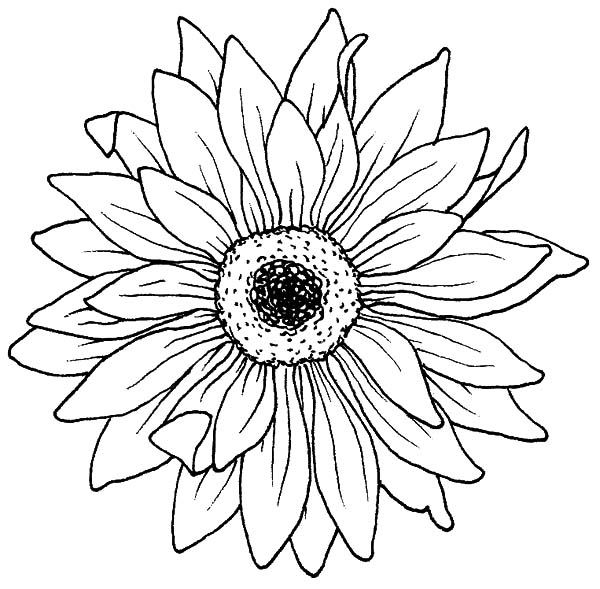 Drawing Blooming Aster Flower Coloring
