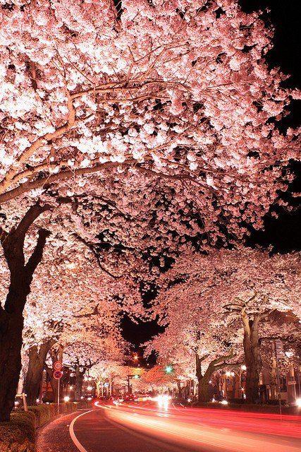 Cherry Tree In Full Bloom Hitachi City Ibaraki Prefecture Japan Japanese Cherry Blossom Beautiful Places Beautiful World