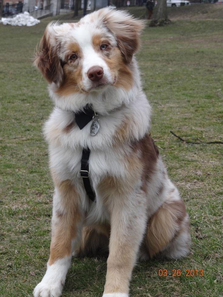 Red Merle Australian Shepherd Aussie Welpen Australian Shepherd Hunde