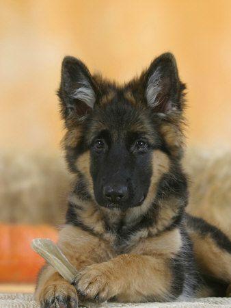 Domestic Dog German Shepherd Alsatian Juvenile 5 Months Old With