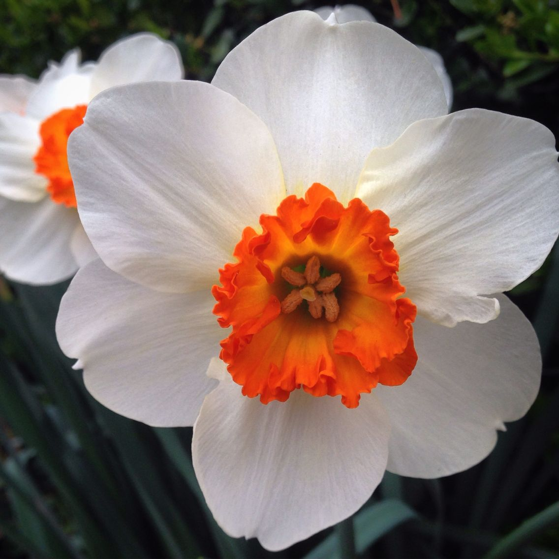 Daffodils first sign of spring flowers orange white elements daffodils first sign of spring flowers orange white mightylinksfo