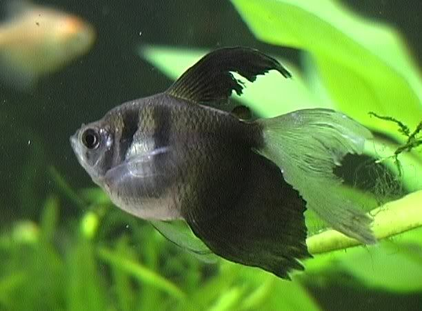 Black White Skirt Or Black Widow Tetra Characins Tetra Fish Fish Aquarium Fish