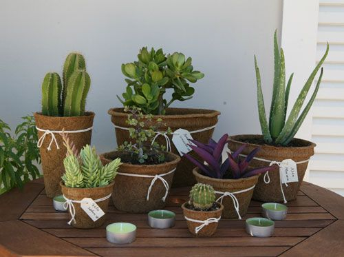 succulents and cactii into cocopots
