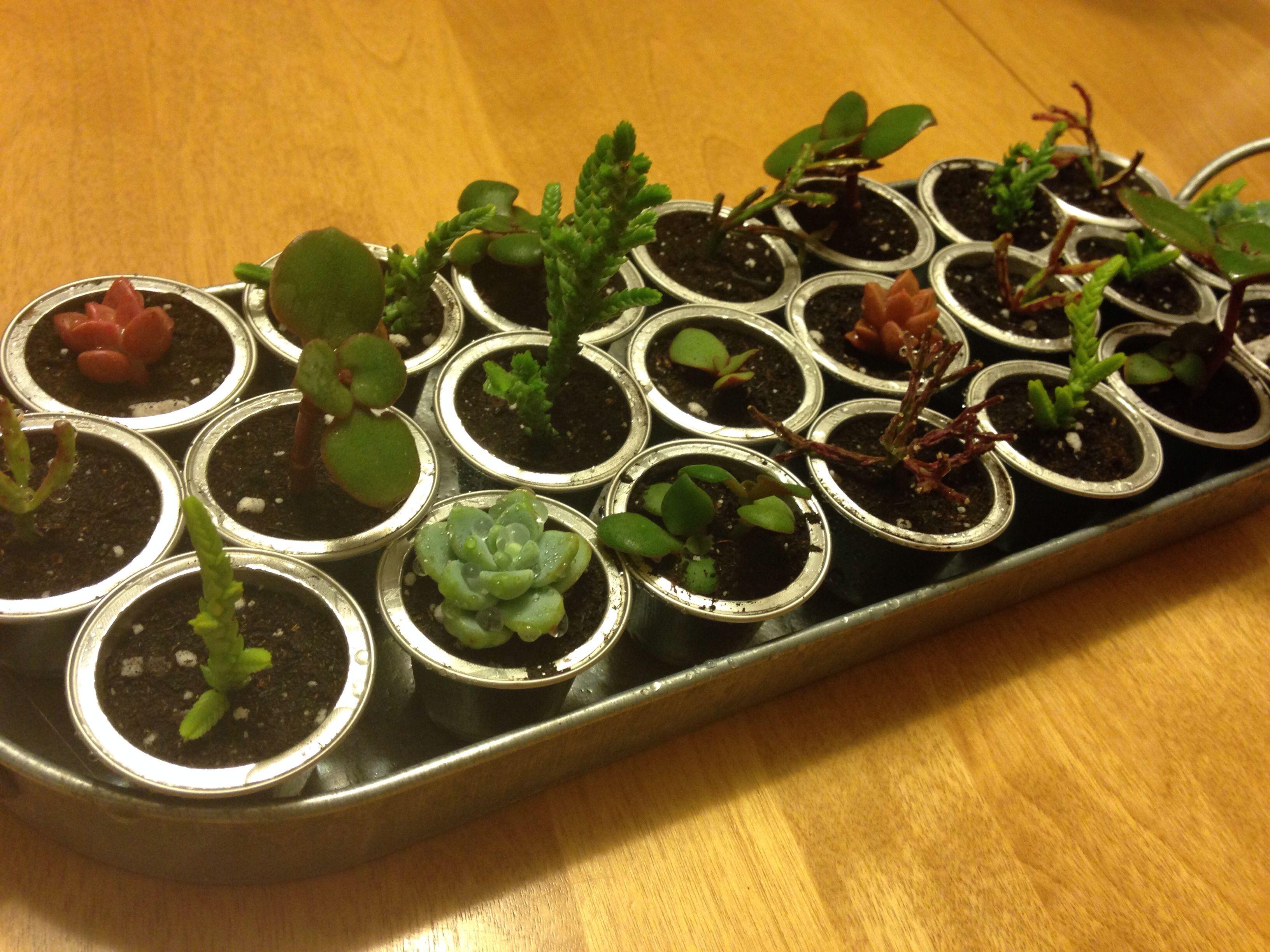 succulents planted in nespresso capsules - Jardin Japonais Miniature Cactus