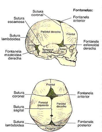 Resultado de imagen para suturas del craneo con su nombres | school ...