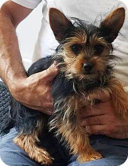 Kalamazoo Mi Yorkie Yorkshire Terrier Mix Meet Cocoa A Puppy For Adoption Http Www Adoptapet Co Yorkshire Terrier Yorkie Yorkshire Terrier Terrier Mix