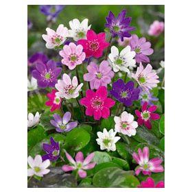 Aus10659 Pflanzen Stauden Bodendecker Und Niedrige Stauden Leberblumchen Mischung 3 Stuck Blumen Pflanzen Pflanzen Blumen