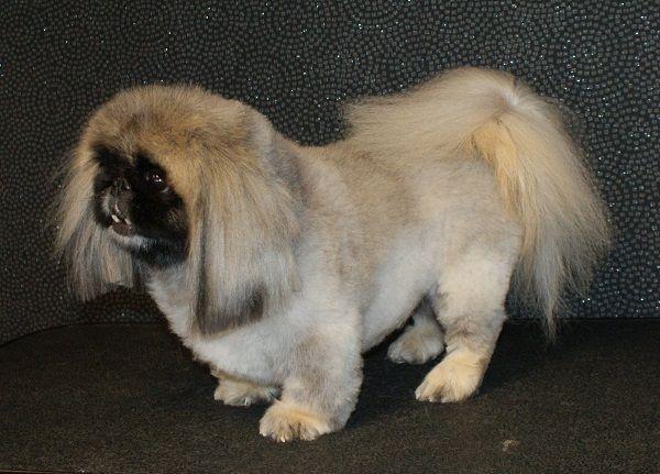 Pekingese Dog Haircut Styles Info