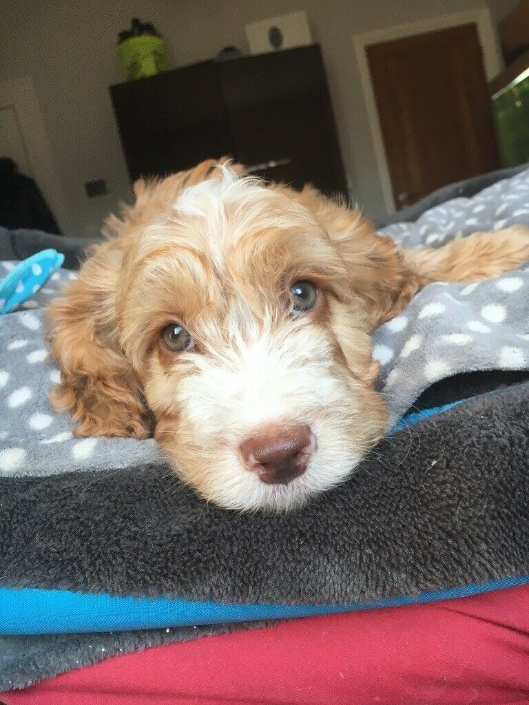 Cockapoo puppies for sale 2left in bolton manchester