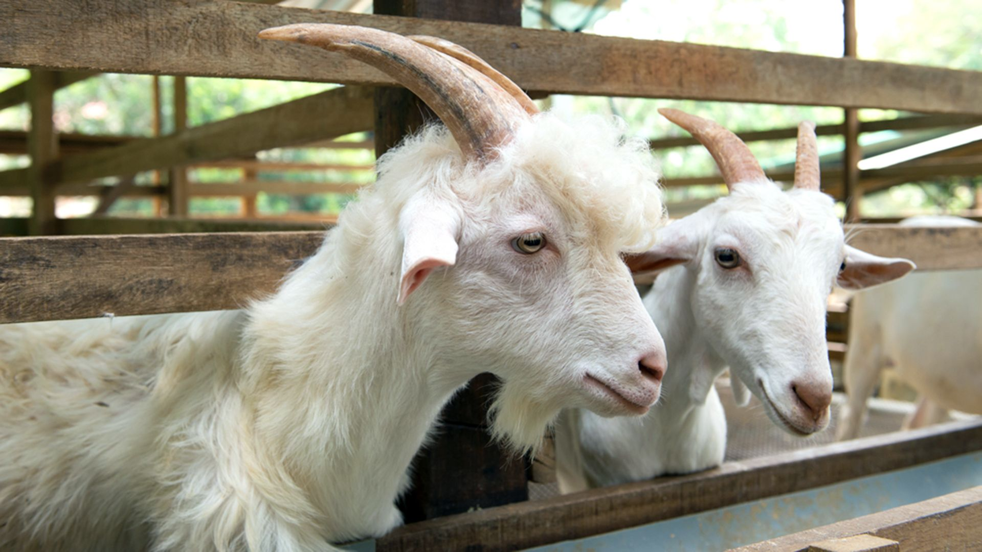 For 150 and an essay, you can win a goat farm! Here's how
