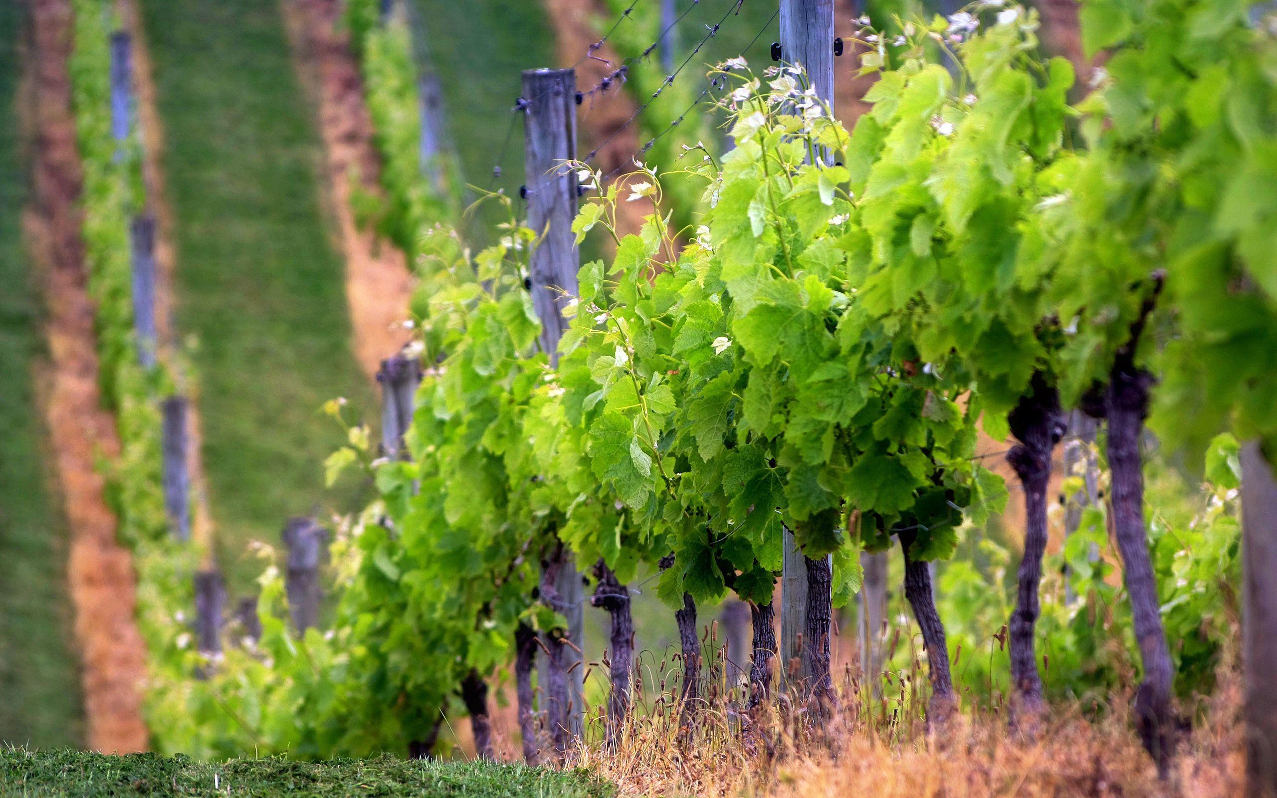Best Vineyard Wallpaper Background Wallpaper Oregon Wine Country Oregon Wine Wine Country