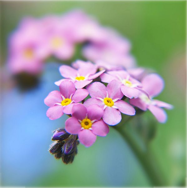 Gorgeous Pink Forget Me Not Related To Borage Flowers April June