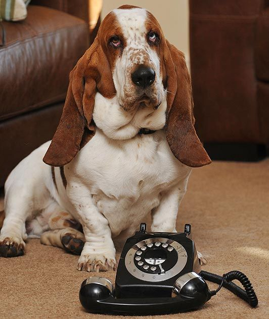 Basset Hound Called Police To Save His Life By Dialing A Rotary