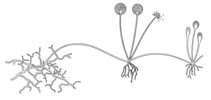rhizopus diagram labeled - 730×347