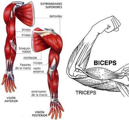 Principales -musculos-20-brazo: origen, inserción y acción .jpg ...