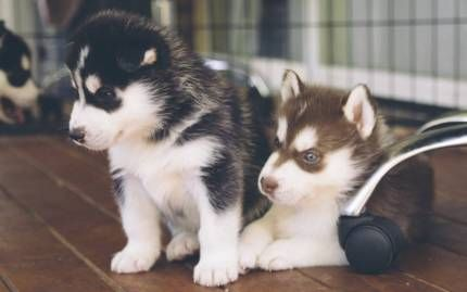 Siberian Husky Puppies Dogs Puppies Gumtree Australia Gold