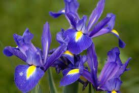 Iris meaning inspiration th wedding anniversary flower