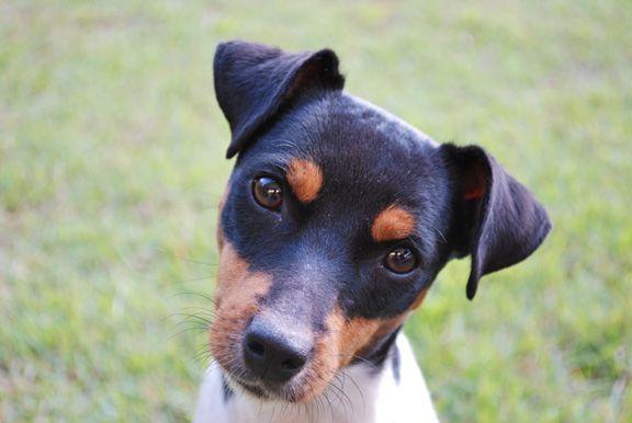 guia-terrier-brasileiro