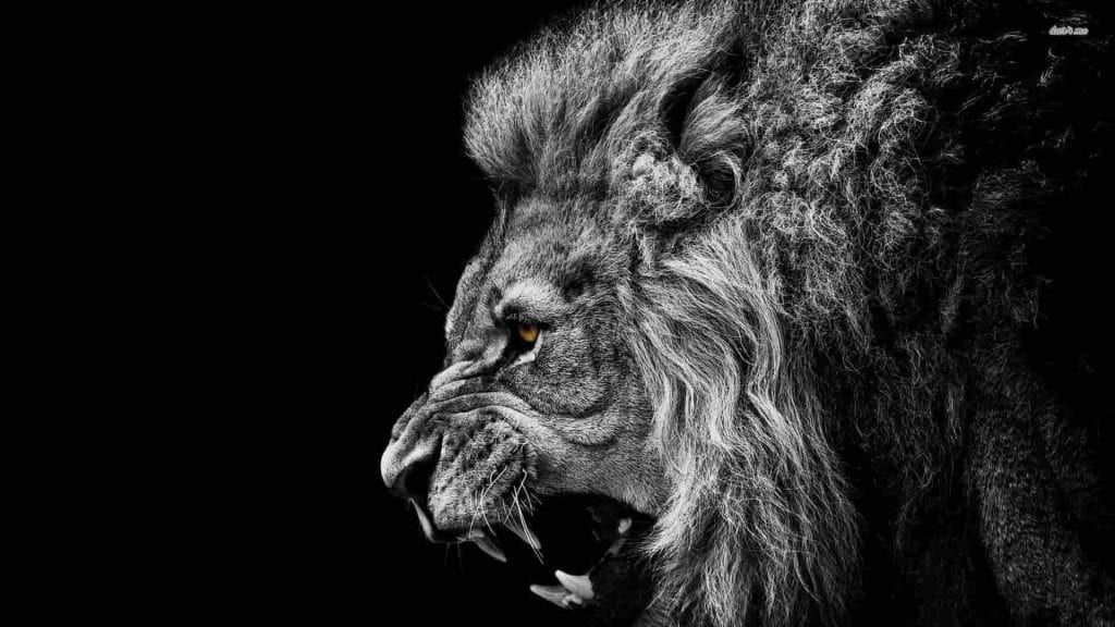 Magikh Losion 8arroys Lion Wallpaper Black And White Lion Lion Hd Wallpaper