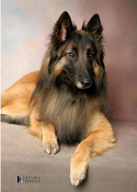 Tervuren Belgian Shepherd Sheepdog Dogs Puppy