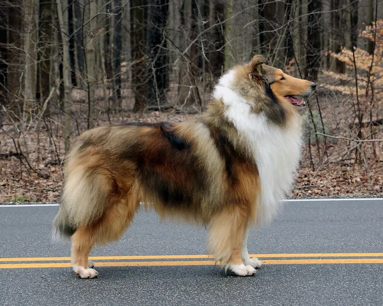 Ch Overland Red Moon Rising Collie Rough Collie Red Moon Rising
