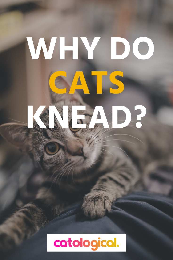 Why Do Cats Knead Their Human Owners, Pillows, Blankets