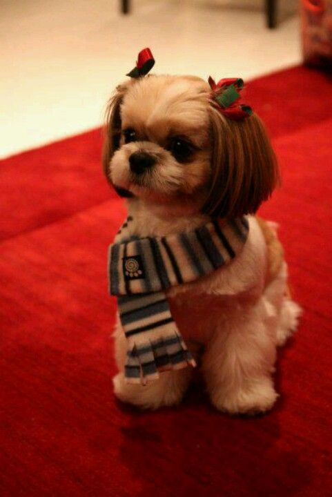 About The Cutest Puppy I Have Ever Seen Animales Y Mascotas Perro Shih Tzu Ropa De Animales