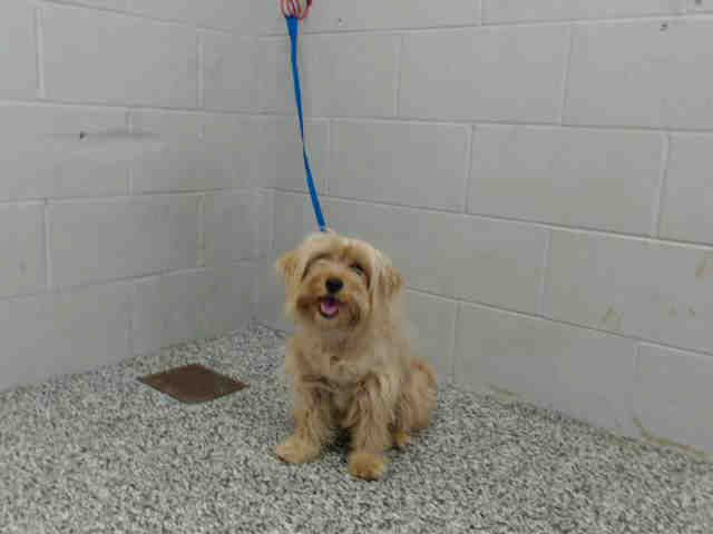 This DOG-ID#A479999  I am a female, tan Lhasa Apso mix. Shelter staff think I am about 5 years old. I have been at the shelter since Mar 14, 2015.  If you are my owner, you must physically come to the shelter to claim me. We are located at 333 Chandler Place, San Bernardino, CA 92408. Our Lost & Found hours are Tuesday-Saturday 10:00 am to 5 pm.  A picture ID (such as a driver's license) is required to redeem me. There are also fees like impound, board and license that must be paid before…