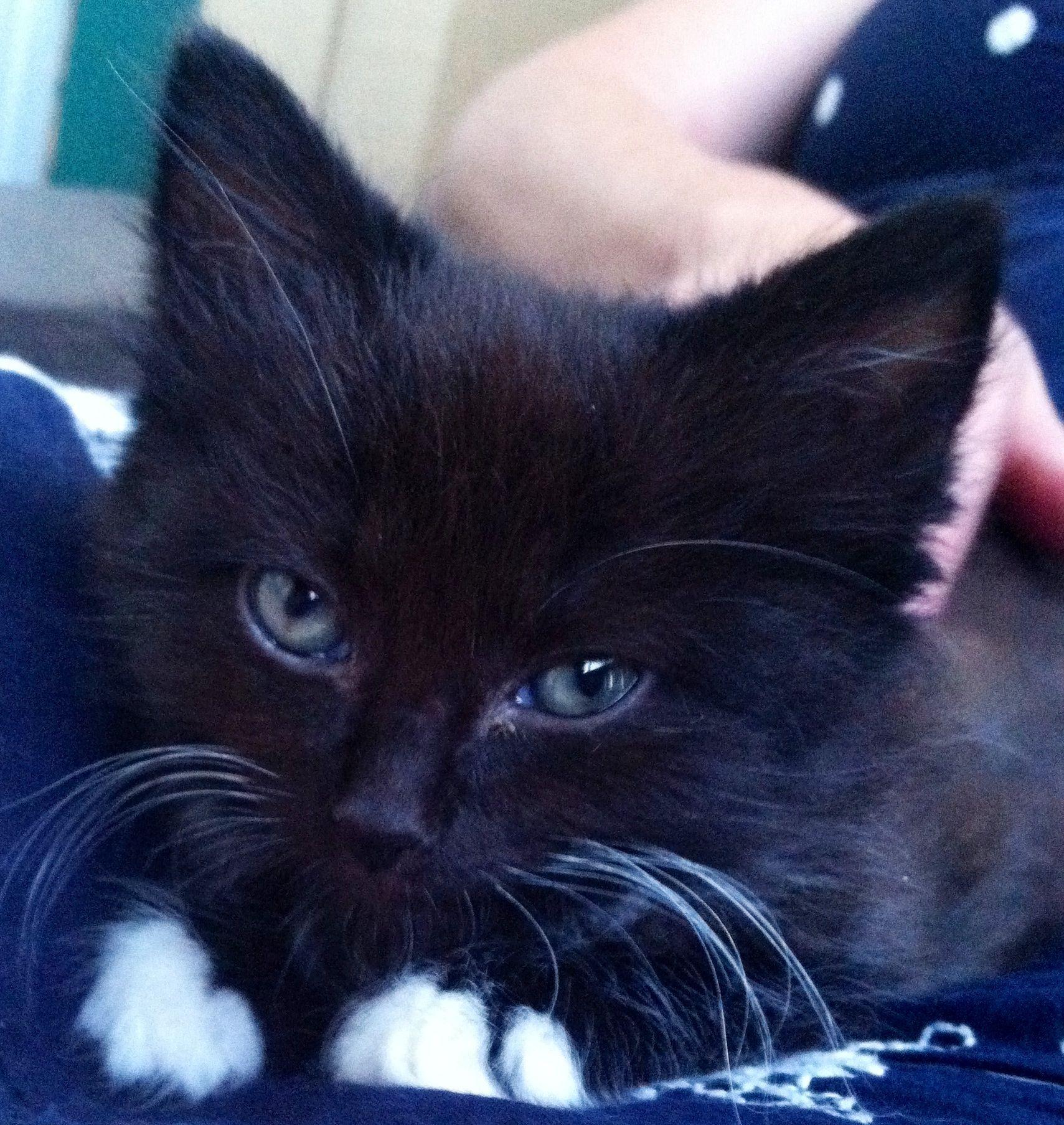 My tuxedo kitten