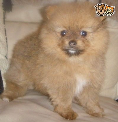 Microchipped Registered Pomeranians Leicester Leicestershire Pets4homes Pomeranian Dogs
