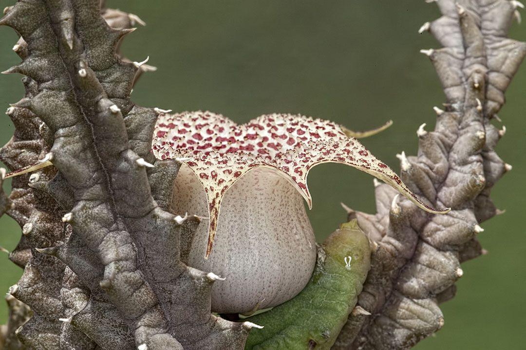 Huernia hislopii var. robusta