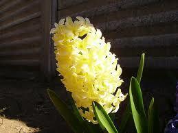 Giacinto giallo: Gelosia
