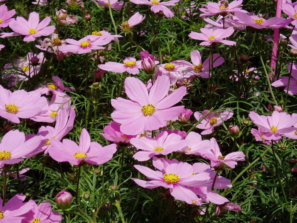 Cosmos (plant) - Wikipedia   Cosmos plant, Cosmos flowers ...