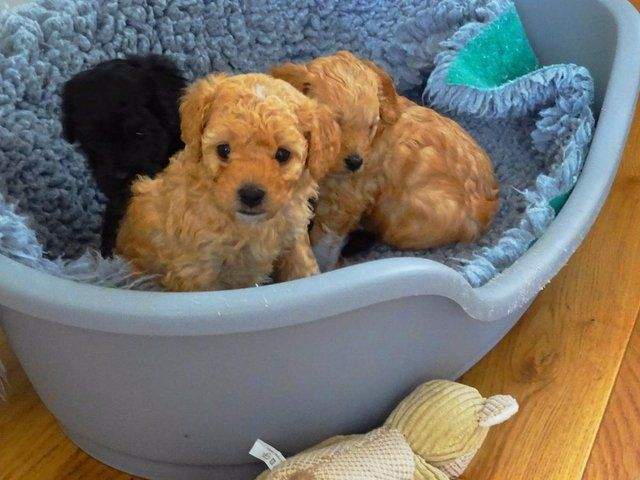 Apricot Cavapoochon Girl Cavapoochon Dogs And Puppies Puppies