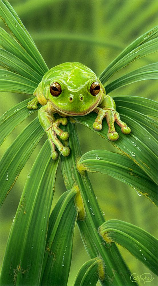 """""""Green Tree Frog"""" - artwork by Christopher Pope - now available as fine art reproductions - http://www.artreproductions.com.au/gallery.php?artid=2361"""