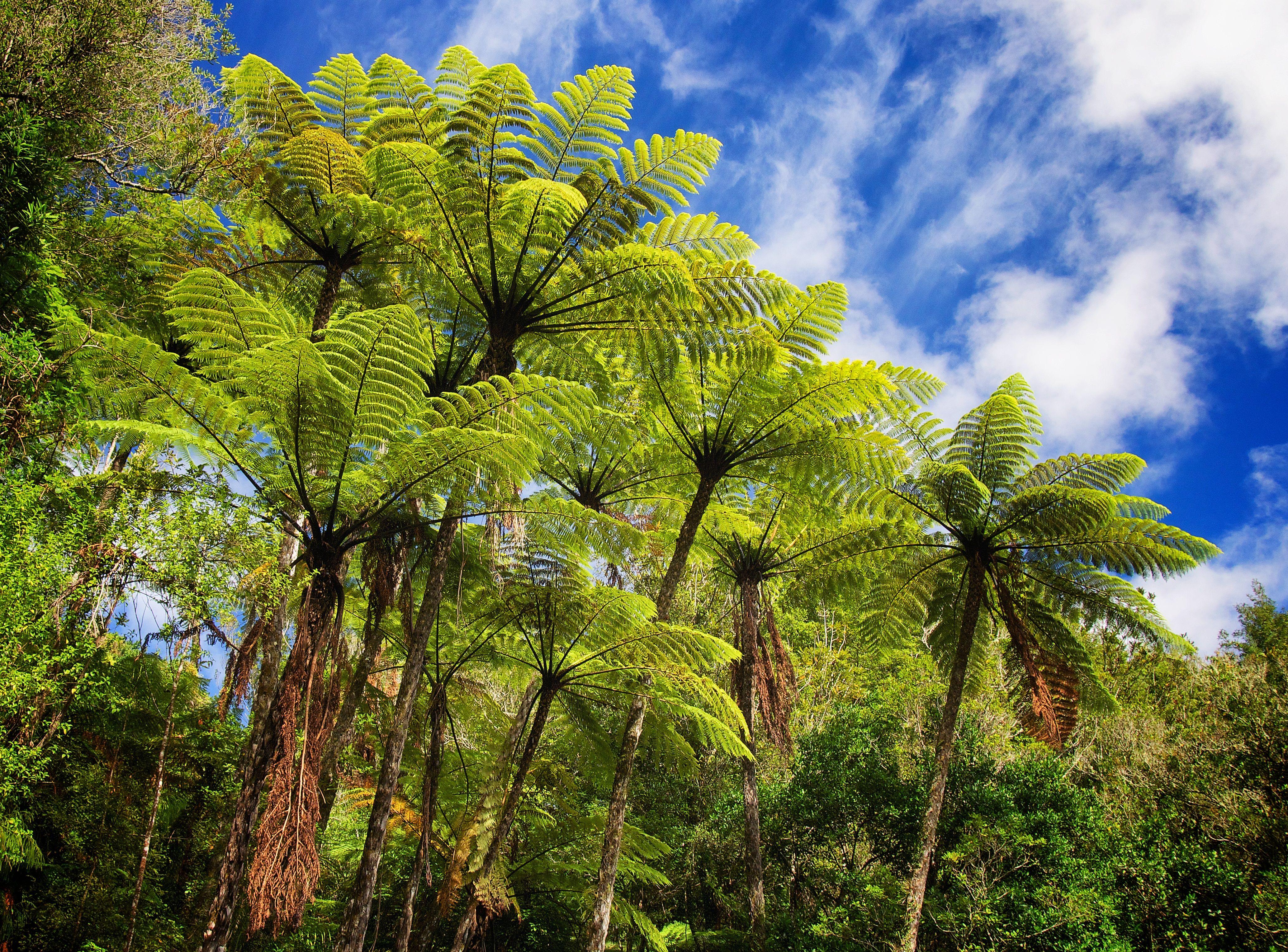 Black Tree Fern (Cyathea Medullaris), Also It Is Called Mamaku,