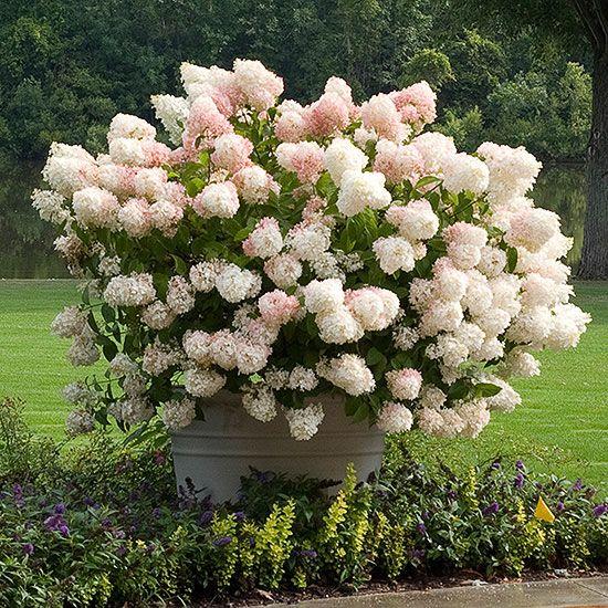 The Most Gorgeous White Hydrangeas For Your Garden White Hydrangea Plant Types Of Hydrangeas Planting Hydrangeas
