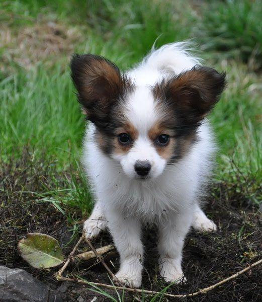 Cute Small Dog Breeds Short Hair