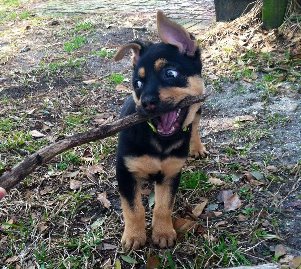 Dakota Loves Her Stick Rottweiler Mix Rottweiler Mix Puppies