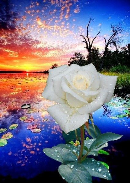 Image%20result%20for%20beautiful%20white%20rose%20sunset