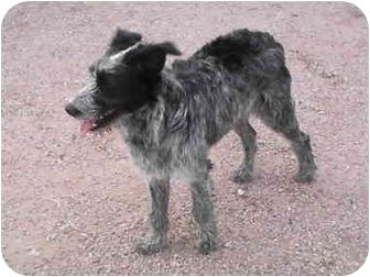 Standard Poodle Australian Cattle Dog Mix Cattle Dogs Mix Dog