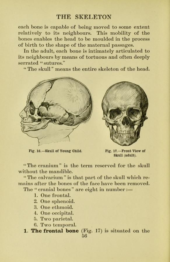 Bones Of The Skull From Human Anatomy For Art Students By Ralph
