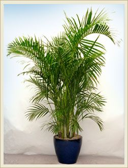 Areca palm different type plants indoor plants dubai home accents pinterest - Indoor plant types ...