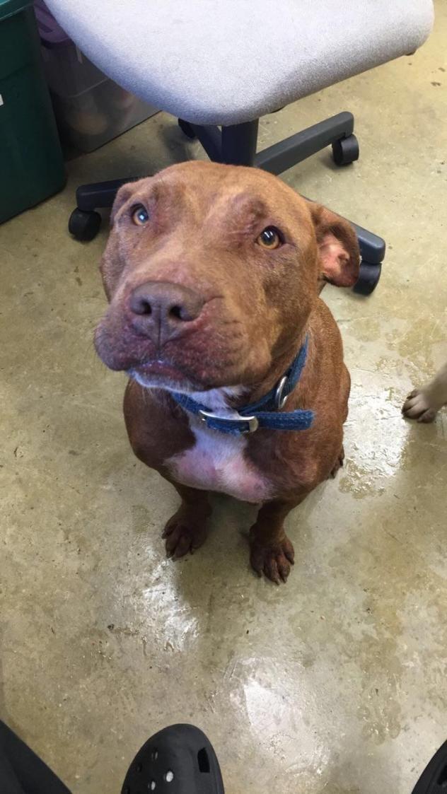 Adopt Miss Piggy On Petfinder Pitbulls Adoption Dog Adoption