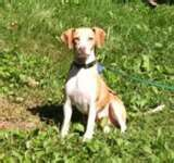 Giblet Our Quirky Italian Greagle She Is A Beagle Italian