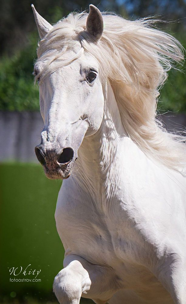 Beautyfull Lusitano by Lesya Photoostrov on 500px